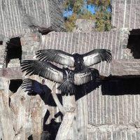 Programa de Conservación del Cóndor Andino
